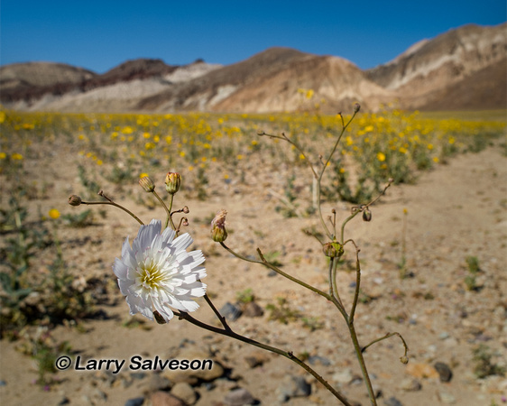 Death Valley Blooms White and Yellow