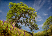 Blue Oak and Lupine
